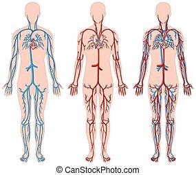 diagramma, differente, umano, vasi sanguigni