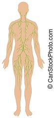 diagramma, essendo, linfatico, umano