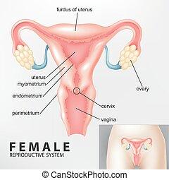 diagramma, femmina, riproduttivo
