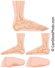 diagramma, piede, osso umano