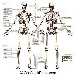 diagramma, scheletro, umano
