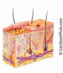 diagramma, sezione, pelle umana