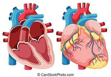 diagramme, cœurs, projection, humain