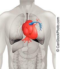 diagramme, coeur, détail, humain