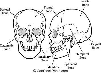 diagramme, crâne