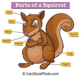 diagramme, différent, parties, projection, écureuil