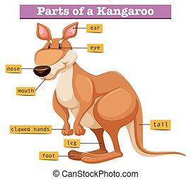 diagramme, différent, parties, projection, kangourou