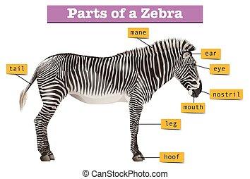diagramme, différent, parties, projection, zebra