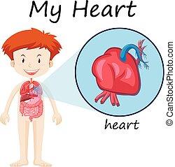 diagramme, garçon, anatomie, coeur humain