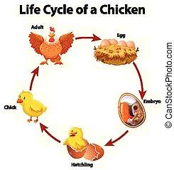 diagramme, poulet, cycle, projection, vie