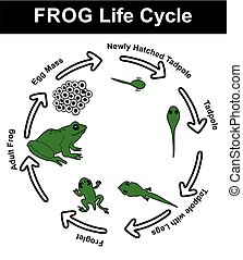 diagramme, vie, grenouille, cycle