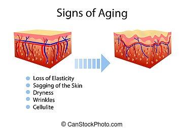 diagramme, vieillissement, signes, deux, peau, vecteur, healthcare, illustrations, cosmetological, types
