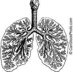 Diagrams of two human lungs, vintage engraving.