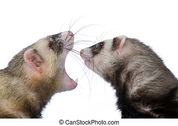 two polecats