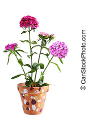 dianthus, 花, 植物