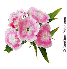 Dianthus Barbatus - Cluster of dianthus, isolated on white