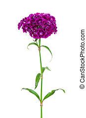 Dianthus barbatus flower isolated on white background - ...