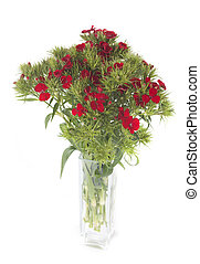 Dianthus barbatus in front of white background