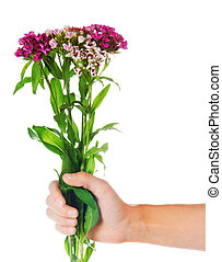 Dianthus barbatus in the female hand, isolated on white