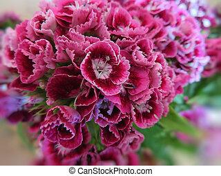 Dianthus barbatus magenta flowers close up