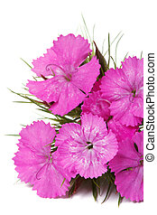 Dianthus barbatus pink flowers isolated close-up. vertical...
