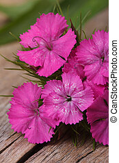 Dianthus barbatus pink flowers on the wooden table closeup. ...