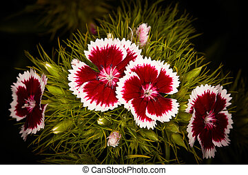 Dianthus barbatus (Sweet William). Detailed view of the ...