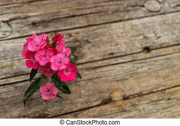 Dianthus barbatus (Sweet William)