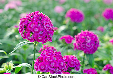 Dianthus chinensis (China Pink, Sweet William flower )