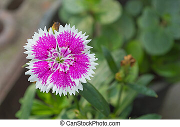 Dianthus chinensis flower (China Pink) in the garden