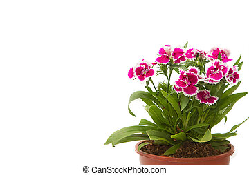 Dianthus Chinensis Flowers, China Pink, Indian Pink in flower pot