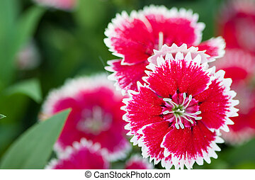 Dianthus Chinensis Flowers in the garden, Flowerbed of ...