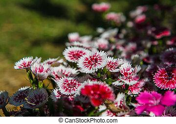 Dianthus chinensis in garden