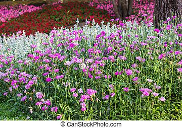 Dianthus chinensis (Sweet William flower ) in garden