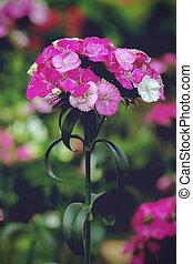 dianthus flower blossom in garden