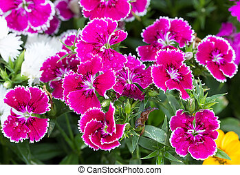 Dianthus flower in the garden, ( Dianthus chinensis )