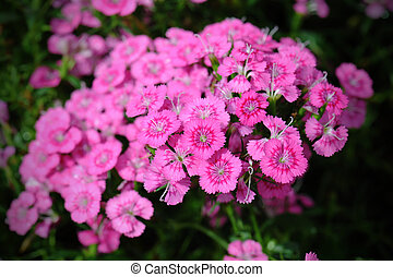 Dianthus flower on top view