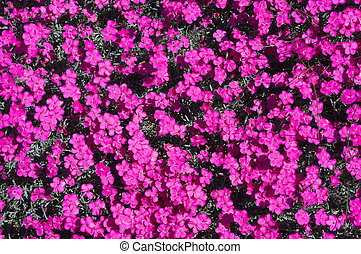 pink and violet dianthus gratianopolitanus small flowers backgound