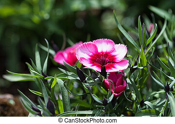 Dianthus in the garden, blurred background