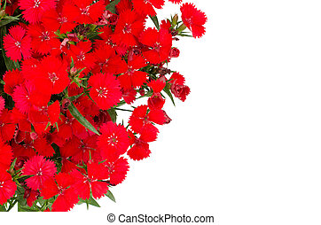 Dianthus isolated on white background