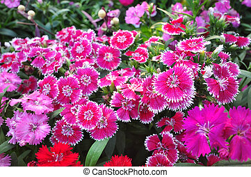 Most dianthus have pink, red, or white flowers with notched petals.