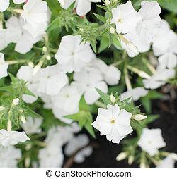 Dianthus white flowers in summer garden closeup