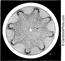 Diatoms, vintage engraving.