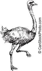 dibujado, mano, avestruz