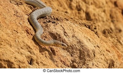 Dice snake crawling on clay near the sea - Dice snake (...