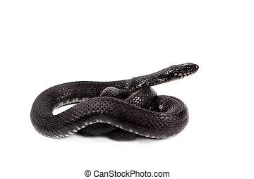Dice snake, Natrix tessellata, on white - Dice snake, Natrix...
