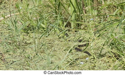 Dice Snake Swims through Marshes of Swamp Thickets and Algae. Snake crawling in the river. Natrix tessellata in the water. Water snake with yellow ears floating in the lake. Slow Motion
