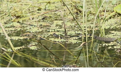 Dice Snake Swims through Marshes of Swamp Thickets and Algae. Slow Motion