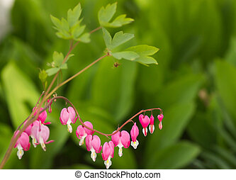 Dicentra - Bleeding Heart Flowers.