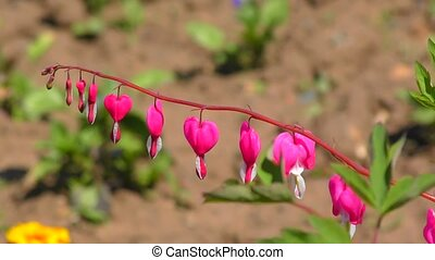 "Dicentra flower or ""broken heart"""